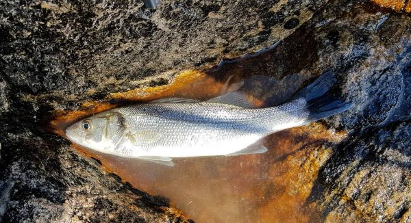 A small bass from Sandwood Bay waits to be released