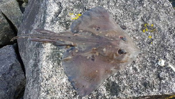A thornback ray caught from Loch Etive, and waiting to be returned to the water