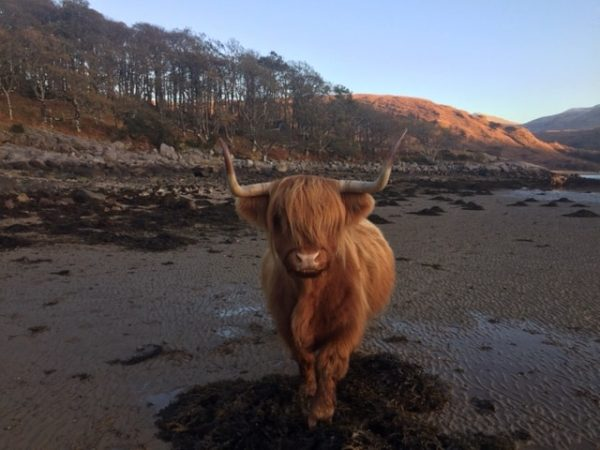 A hairy highland cow faces up to Ian