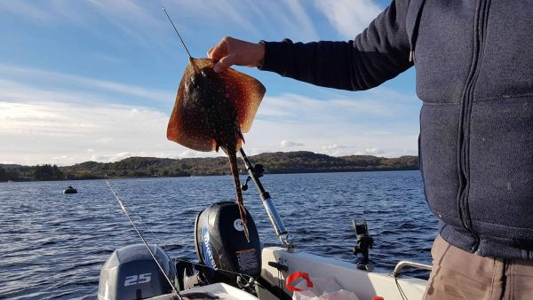 A tiny thornback ray for Ian, taken just off the moorings at Taynuilt, Loch Etive