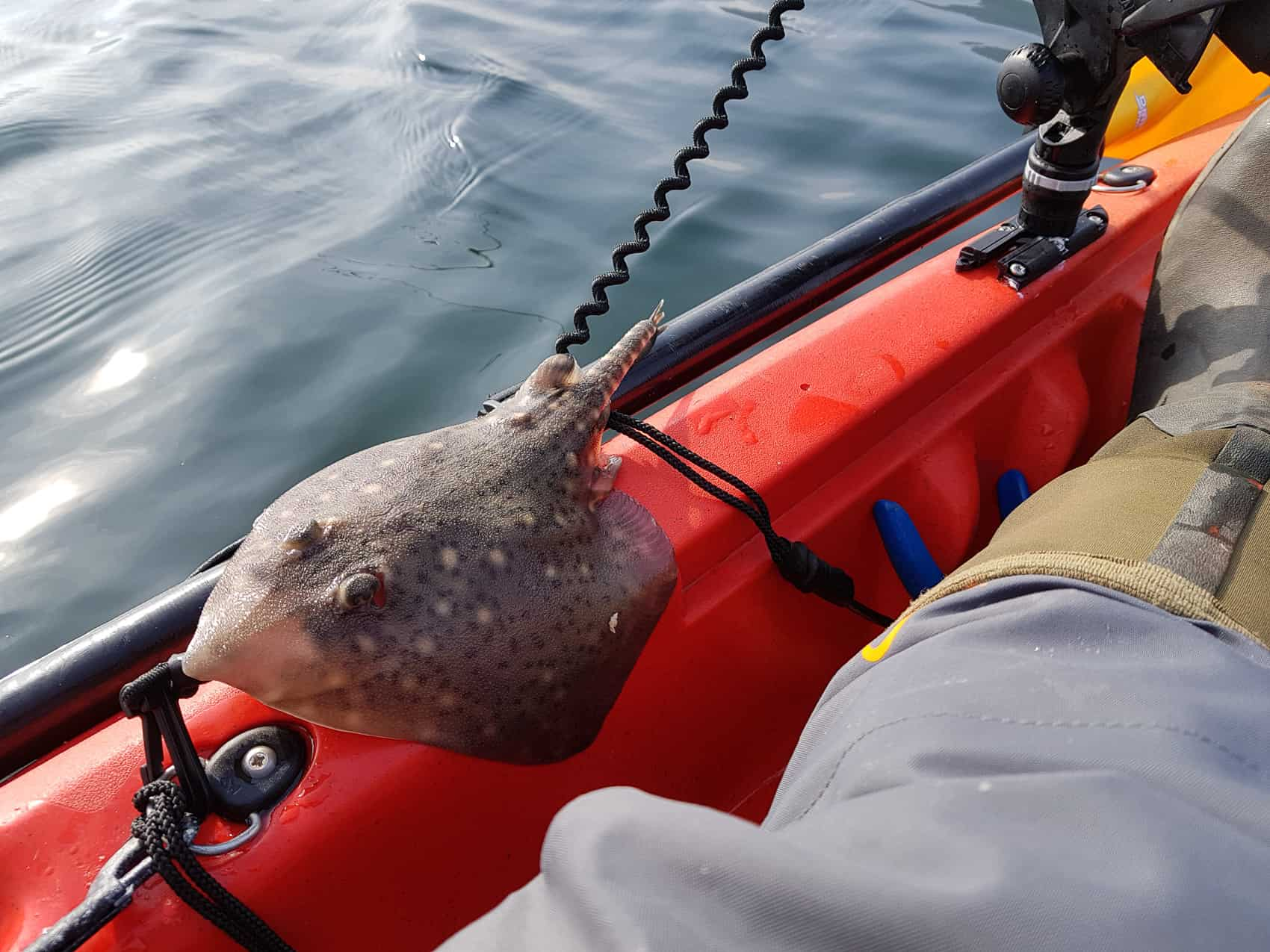 First fish from the kayak - a tiddler thornback ray